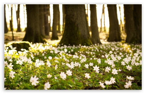 White Forest Flowers HD wallpaper for Wide 16:10 5:3 Widescreen WHXGA WQXGA WUXGA WXGA WGA ; HD 16:9 High Definition WQHD QWXGA 1080p 900p 720p QHD nHD ; Standard 4:3 5:4 3:2 Fullscreen UXGA XGA SVGA QSXGA SXGA DVGA HVGA HQVGA devices ( Apple PowerBook G4 iPhone 4 3G 3GS iPod Touch ) ; Tablet 1:1 ; iPad 1/2/Mini ; Mobile 4:3 5:3 3:2 16:9 5:4 - UXGA XGA SVGA WGA DVGA HVGA HQVGA devices ( Apple PowerBook G4 iPhone 4 3G 3GS iPod Touch ) WQHD QWXGA 1080p 900p 720p QHD nHD QSXGA SXGA ;