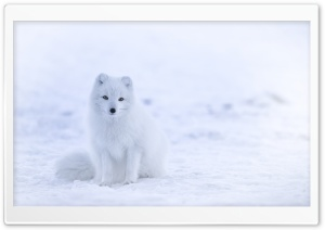 White Fox HD Wide Wallpaper for 4K UHD Widescreen desktop & smartphone