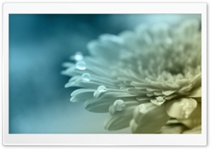 White Gerbera HD Wide Wallpaper for Widescreen
