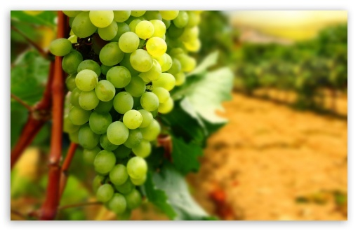 White Grapes ❤ 4K UHD Wallpaper for Wide 16:10 5:3 Widescreen WHXGA WQXGA WUXGA WXGA WGA ; 4K UHD 16:9 Ultra High Definition 2160p 1440p 1080p 900p 720p ; Standard 4:3 5:4 3:2 Fullscreen UXGA XGA SVGA QSXGA SXGA DVGA HVGA HQVGA ( Apple PowerBook G4 iPhone 4 3G 3GS iPod Touch ) ; Smartphone 5:3 WGA ; Tablet 1:1 ; iPad 1/2/Mini ; Mobile 4:3 5:3 3:2 16:9 5:4 - UXGA XGA SVGA WGA DVGA HVGA HQVGA ( Apple PowerBook G4 iPhone 4 3G 3GS iPod Touch ) 2160p 1440p 1080p 900p 720p QSXGA SXGA ; Dual 5:4 QSXGA SXGA ;