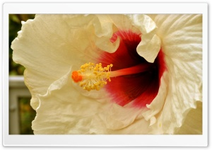 White Hibiscus HD Wide Wallpaper for Widescreen