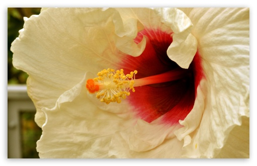White Hibiscus ❤ 4K UHD Wallpaper for Wide 16:10 5:3 Widescreen WHXGA WQXGA WUXGA WXGA WGA ; 4K UHD 16:9 Ultra High Definition 2160p 1440p 1080p 900p 720p ; Standard 4:3 5:4 3:2 Fullscreen UXGA XGA SVGA QSXGA SXGA DVGA HVGA HQVGA ( Apple PowerBook G4 iPhone 4 3G 3GS iPod Touch ) ; iPad 1/2/Mini ; Mobile 4:3 5:3 3:2 16:9 5:4 - UXGA XGA SVGA WGA DVGA HVGA HQVGA ( Apple PowerBook G4 iPhone 4 3G 3GS iPod Touch ) 2160p 1440p 1080p 900p 720p QSXGA SXGA ;
