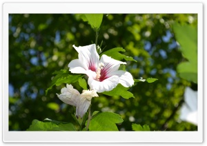 White Hibiscus HD Wide Wallpaper for 4K UHD Widescreen desktop & smartphone
