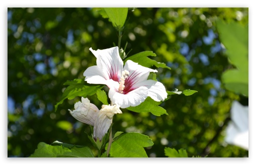White Hibiscus ❤ 4K UHD Wallpaper for Wide 16:10 5:3 Widescreen WHXGA WQXGA WUXGA WXGA WGA ; 4K UHD 16:9 Ultra High Definition 2160p 1440p 1080p 900p 720p ; UHD 16:9 2160p 1440p 1080p 900p 720p ; Standard 4:3 5:4 3:2 Fullscreen UXGA XGA SVGA QSXGA SXGA DVGA HVGA HQVGA ( Apple PowerBook G4 iPhone 4 3G 3GS iPod Touch ) ; Smartphone 5:3 WGA ; Tablet 1:1 ; iPad 1/2/Mini ; Mobile 4:3 5:3 3:2 16:9 5:4 - UXGA XGA SVGA WGA DVGA HVGA HQVGA ( Apple PowerBook G4 iPhone 4 3G 3GS iPod Touch ) 2160p 1440p 1080p 900p 720p QSXGA SXGA ;