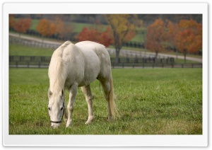 White Horse Grazing HD Wide Wallpaper for 4K UHD Widescreen desktop & smartphone