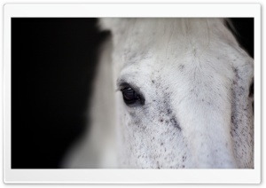 White Horse Portrait HD Wide Wallpaper for Widescreen