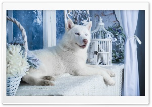 White Husky HD Wide Wallpaper for Widescreen
