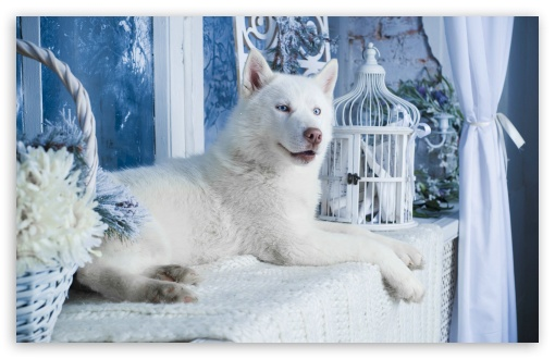 White Husky ❤ 4K UHD Wallpaper for Wide 16:10 5:3 Widescreen WHXGA WQXGA WUXGA WXGA WGA ; 4K UHD 16:9 Ultra High Definition 2160p 1440p 1080p 900p 720p ; Standard 4:3 5:4 3:2 Fullscreen UXGA XGA SVGA QSXGA SXGA DVGA HVGA HQVGA ( Apple PowerBook G4 iPhone 4 3G 3GS iPod Touch ) ; Smartphone 5:3 WGA ; iPad 1/2/Mini ; Mobile 4:3 5:3 3:2 16:9 5:4 - UXGA XGA SVGA WGA DVGA HVGA HQVGA ( Apple PowerBook G4 iPhone 4 3G 3GS iPod Touch ) 2160p 1440p 1080p 900p 720p QSXGA SXGA ; Dual 16:10 5:3 16:9 4:3 5:4 WHXGA WQXGA WUXGA WXGA WGA 2160p 1440p 1080p 900p 720p UXGA XGA SVGA QSXGA SXGA ;