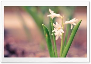 White Hyacinth HD Wide Wallpaper for Widescreen