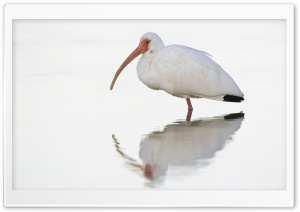 White Ibis At Dawn Fort Meyers Florida HD Wide Wallpaper for 4K UHD Widescreen desktop & smartphone