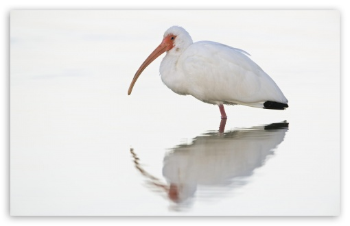 White Ibis At Dawn Fort Meyers Florida HD wallpaper for Wide 16:10 5:3 Widescreen WHXGA WQXGA WUXGA WXGA WGA ; HD 16:9 High Definition WQHD QWXGA 1080p 900p 720p QHD nHD ; Standard 4:3 5:4 3:2 Fullscreen UXGA XGA SVGA QSXGA SXGA DVGA HVGA HQVGA devices ( Apple PowerBook G4 iPhone 4 3G 3GS iPod Touch ) ; Tablet 1:1 ; iPad 1/2/Mini ; Mobile 4:3 5:3 3:2 16:9 5:4 - UXGA XGA SVGA WGA DVGA HVGA HQVGA devices ( Apple PowerBook G4 iPhone 4 3G 3GS iPod Touch ) WQHD QWXGA 1080p 900p 720p QHD nHD QSXGA SXGA ;