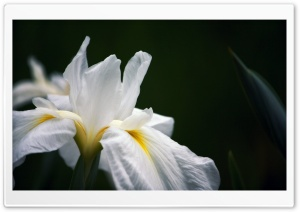 White Iris HD Wide Wallpaper for Widescreen