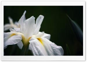 White Iris Ultra HD Wallpaper for 4K UHD Widescreen desktop, tablet & smartphone