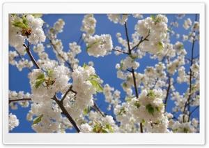 White Japanese Cherry Blossom HD Wide Wallpaper for Widescreen
