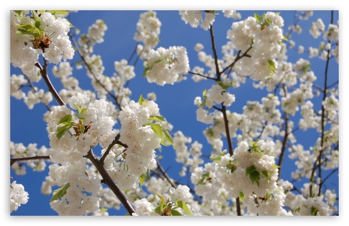 White Japanese Cherry Blossom HD wallpaper for Standard 4:3 5:4 Fullscreen UXGA XGA SVGA QSXGA SXGA ; Wide 16:10 5:3 Widescreen WHXGA WQXGA WUXGA WXGA WGA ; HD 16:9 High Definition WQHD QWXGA 1080p 900p 720p QHD nHD ; Other 3:2 DVGA HVGA HQVGA devices ( Apple PowerBook G4 iPhone 4 3G 3GS iPod Touch ) ; Mobile VGA WVGA iPhone iPad PSP Phone - VGA QVGA Smartphone ( PocketPC GPS iPod Zune BlackBerry HTC Samsung LG Nokia Eten Asus ) WVGA WQVGA Smartphone ( HTC Samsung Sony Ericsson LG Vertu MIO ) HVGA Smartphone ( Apple iPhone iPod BlackBerry HTC Samsung Nokia ) Sony PSP Zune HD Zen ; Tablet 2 Android ; Dual 5:4 16:10 5:3 QSXGA SXGA WHXGA WQXGA WUXGA WXGA WGA ;