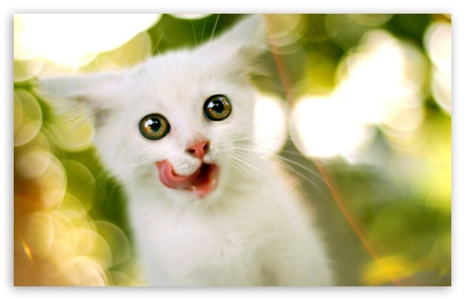 White Kitten UltraHD Wallpaper for Wide 16:10 5:3 Widescreen WHXGA WQXGA WUXGA WXGA WGA ; 8K UHD TV 16:9 Ultra High Definition 2160p 1440p 1080p 900p 720p ; Standard 4:3 5:4 3:2 Fullscreen UXGA XGA SVGA QSXGA SXGA DVGA HVGA HQVGA ( Apple PowerBook G4 iPhone 4 3G 3GS iPod Touch ) ; Tablet 1:1 ; iPad 1/2/Mini ; Mobile 4:3 5:3 3:2 16:9 5:4 - UXGA XGA SVGA WGA DVGA HVGA HQVGA ( Apple PowerBook G4 iPhone 4 3G 3GS iPod Touch ) 2160p 1440p 1080p 900p 720p QSXGA SXGA ;