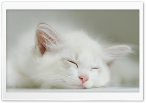 White Kitten Sleeping HD Wide Wallpaper for 4K UHD Widescreen desktop & smartphone
