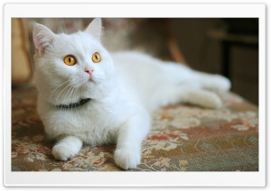 White Kitty HD Wide Wallpaper for Widescreen