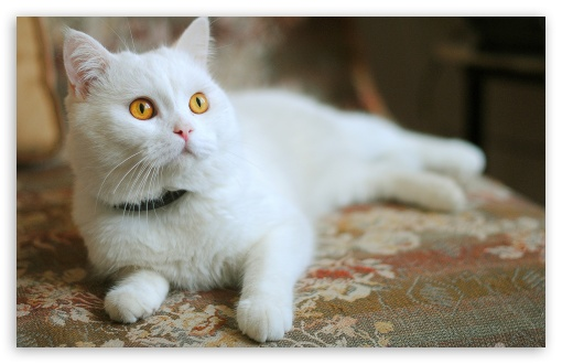 White Kitty ❤ 4K UHD Wallpaper for Wide 16:10 5:3 Widescreen WHXGA WQXGA WUXGA WXGA WGA ; 4K UHD 16:9 Ultra High Definition 2160p 1440p 1080p 900p 720p ; Standard 4:3 5:4 3:2 Fullscreen UXGA XGA SVGA QSXGA SXGA DVGA HVGA HQVGA ( Apple PowerBook G4 iPhone 4 3G 3GS iPod Touch ) ; iPad 1/2/Mini ; Mobile 4:3 5:3 3:2 16:9 5:4 - UXGA XGA SVGA WGA DVGA HVGA HQVGA ( Apple PowerBook G4 iPhone 4 3G 3GS iPod Touch ) 2160p 1440p 1080p 900p 720p QSXGA SXGA ;