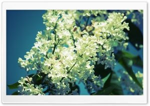 White Lilac HD Wide Wallpaper for Widescreen