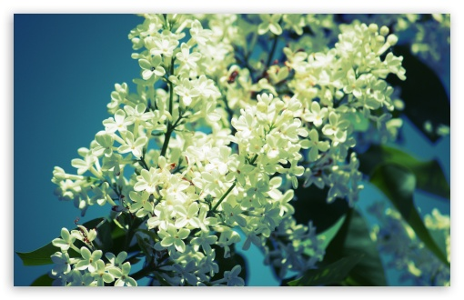 White Lilac HD wallpaper for Wide 16:10 5:3 Widescreen WHXGA WQXGA WUXGA WXGA WGA ; HD 16:9 High Definition WQHD QWXGA 1080p 900p 720p QHD nHD ; UHD 16:9 WQHD QWXGA 1080p 900p 720p QHD nHD ; Standard 4:3 5:4 3:2 Fullscreen UXGA XGA SVGA QSXGA SXGA DVGA HVGA HQVGA devices ( Apple PowerBook G4 iPhone 4 3G 3GS iPod Touch ) ; Tablet 1:1 ; iPad 1/2/Mini ; Mobile 4:3 5:3 3:2 16:9 5:4 - UXGA XGA SVGA WGA DVGA HVGA HQVGA devices ( Apple PowerBook G4 iPhone 4 3G 3GS iPod Touch ) WQHD QWXGA 1080p 900p 720p QHD nHD QSXGA SXGA ;