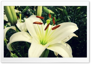 White Lily HD Wide Wallpaper for Widescreen