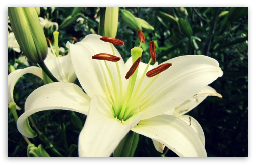 White Lily ❤ 4K UHD Wallpaper for Wide 16:10 5:3 Widescreen WHXGA WQXGA WUXGA WXGA WGA ; 4K UHD 16:9 Ultra High Definition 2160p 1440p 1080p 900p 720p ; Standard 4:3 5:4 3:2 Fullscreen UXGA XGA SVGA QSXGA SXGA DVGA HVGA HQVGA ( Apple PowerBook G4 iPhone 4 3G 3GS iPod Touch ) ; iPad 1/2/Mini ; Mobile 4:3 5:3 3:2 16:9 5:4 - UXGA XGA SVGA WGA DVGA HVGA HQVGA ( Apple PowerBook G4 iPhone 4 3G 3GS iPod Touch ) 2160p 1440p 1080p 900p 720p QSXGA SXGA ;