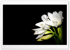 White Lily HD Wide Wallpaper for 4K UHD Widescreen desktop & smartphone