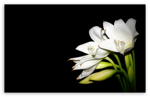 White Lily HD wallpaper for Wide 16:10 5:3 Widescreen WHXGA WQXGA WUXGA WXGA WGA ; HD 16:9 High Definition WQHD QWXGA 1080p 900p 720p QHD nHD ; UHD 16:9 WQHD QWXGA 1080p 900p 720p QHD nHD ; Standard 4:3 5:4 3:2 Fullscreen UXGA XGA SVGA QSXGA SXGA DVGA HVGA HQVGA devices ( Apple PowerBook G4 iPhone 4 3G 3GS iPod Touch ) ; Tablet 1:1 ; iPad 1/2/Mini ; Mobile 4:3 5:3 3:2 16:9 5:4 - UXGA XGA SVGA WGA DVGA HVGA HQVGA devices ( Apple PowerBook G4 iPhone 4 3G 3GS iPod Touch ) WQHD QWXGA 1080p 900p 720p QHD nHD QSXGA SXGA ;
