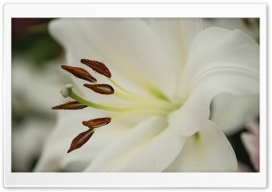 White Lily Flower Macro HD Wide Wallpaper for 4K UHD Widescreen desktop & smartphone