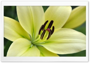 White Lily Macro HD Wide Wallpaper for Widescreen