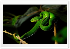 White-lipped Pit Viper Snake HD Wide Wallpaper for Widescreen