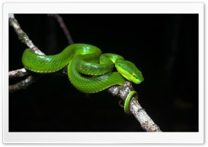 White Lipped Pit Viper Venomous Snake Female, Tree Branch Ultra HD Wallpaper for 4K UHD Widescreen desktop, tablet & smartphone