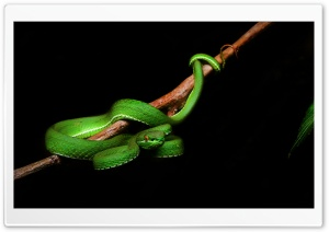 White Lipped Pit Viper Venomous Snake Male, Tree Branch Ultra HD Wallpaper for 4K UHD Widescreen desktop, tablet & smartphone