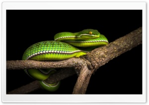 White Lipped Pit Viper Venomous Snake Tree Ultra HD Wallpaper for 4K UHD Widescreen desktop, tablet & smartphone