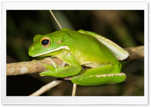 White-Lipped Tree Frog HD Wide Wallpaper for 4K UHD Widescreen desktop & smartphone