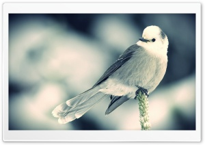 White Little Bird HD Wide Wallpaper for Widescreen