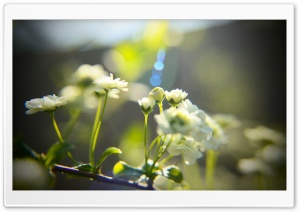 White Little Flowers HD Wide Wallpaper for Widescreen