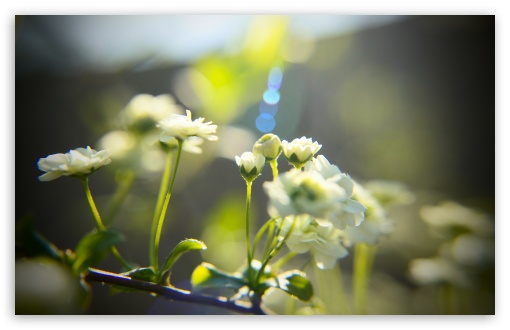 White Little Flowers ❤ 4K UHD Wallpaper for Wide 16:10 5:3 Widescreen WHXGA WQXGA WUXGA WXGA WGA ; 4K UHD 16:9 Ultra High Definition 2160p 1440p 1080p 900p 720p ; UHD 16:9 2160p 1440p 1080p 900p 720p ; Standard 3:2 Fullscreen DVGA HVGA HQVGA ( Apple PowerBook G4 iPhone 4 3G 3GS iPod Touch ) ; Mobile 5:3 3:2 - WGA DVGA HVGA HQVGA ( Apple PowerBook G4 iPhone 4 3G 3GS iPod Touch ) ;