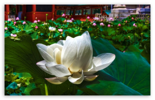 White Lotus HD wallpaper for Wide 16:10 5:3 Widescreen WHXGA WQXGA WUXGA WXGA WGA ; HD 16:9 High Definition WQHD QWXGA 1080p 900p 720p QHD nHD ; UHD 16:9 WQHD QWXGA 1080p 900p 720p QHD nHD ; Standard 4:3 5:4 3:2 Fullscreen UXGA XGA SVGA QSXGA SXGA DVGA HVGA HQVGA devices ( Apple PowerBook G4 iPhone 4 3G 3GS iPod Touch ) ; Tablet 1:1 ; iPad 1/2/Mini ; Mobile 4:3 5:3 3:2 16:9 5:4 - UXGA XGA SVGA WGA DVGA HVGA HQVGA devices ( Apple PowerBook G4 iPhone 4 3G 3GS iPod Touch ) WQHD QWXGA 1080p 900p 720p QHD nHD QSXGA SXGA ; Dual 4:3 5:4 UXGA XGA SVGA QSXGA SXGA ;