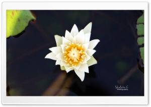 White Lotus HD Wide Wallpaper for 4K UHD Widescreen desktop & smartphone