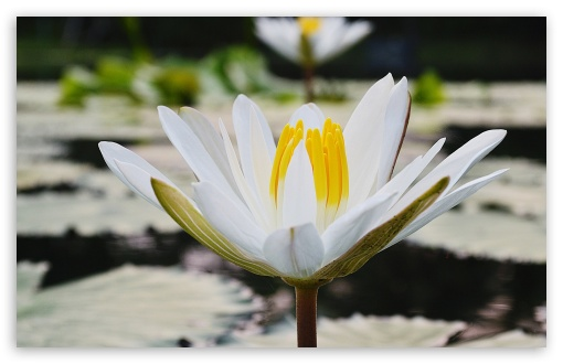 White Lotus ❤ 4K UHD Wallpaper for Wide 16:10 5:3 Widescreen WHXGA WQXGA WUXGA WXGA WGA ; 4K UHD 16:9 Ultra High Definition 2160p 1440p 1080p 900p 720p ; Standard 4:3 5:4 3:2 Fullscreen UXGA XGA SVGA QSXGA SXGA DVGA HVGA HQVGA ( Apple PowerBook G4 iPhone 4 3G 3GS iPod Touch ) ; Tablet 1:1 ; iPad 1/2/Mini ; Mobile 4:3 5:3 3:2 16:9 5:4 - UXGA XGA SVGA WGA DVGA HVGA HQVGA ( Apple PowerBook G4 iPhone 4 3G 3GS iPod Touch ) 2160p 1440p 1080p 900p 720p QSXGA SXGA ;