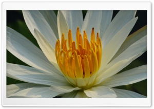 White Lotus HD Wide Wallpaper for Widescreen