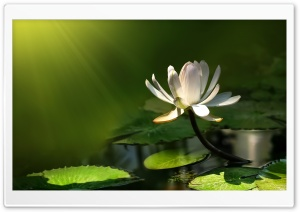 White Lotus Flower HD Wide Wallpaper for Widescreen