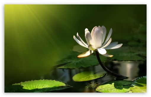 White Lotus Flower HD wallpaper for Wide 16:10 5:3 Widescreen WHXGA WQXGA WUXGA WXGA WGA ; HD 16:9 High Definition WQHD QWXGA 1080p 900p 720p QHD nHD ; Standard 4:3 5:4 3:2 Fullscreen UXGA XGA SVGA QSXGA SXGA DVGA HVGA HQVGA devices ( Apple PowerBook G4 iPhone 4 3G 3GS iPod Touch ) ; Tablet 1:1 ; iPad 1/2/Mini ; Mobile 4:3 5:3 3:2 16:9 5:4 - UXGA XGA SVGA WGA DVGA HVGA HQVGA devices ( Apple PowerBook G4 iPhone 4 3G 3GS iPod Touch ) WQHD QWXGA 1080p 900p 720p QHD nHD QSXGA SXGA ; Dual 4:3 5:4 UXGA XGA SVGA QSXGA SXGA ;