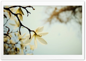 White Magnolia HD Wide Wallpaper for Widescreen
