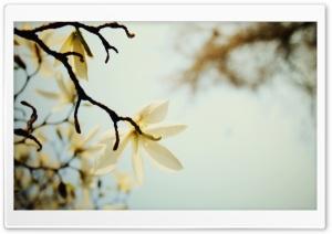 White Magnolia HD Wide Wallpaper for 4K UHD Widescreen desktop & smartphone