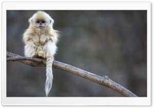 White Monkey HD Wide Wallpaper for Widescreen