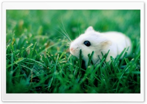 White Mouse HD Wide Wallpaper for Widescreen