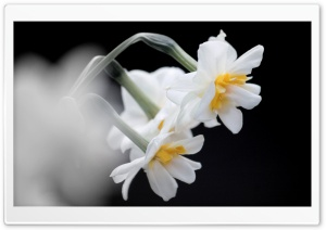 White Narcissus HD Wide Wallpaper for Widescreen